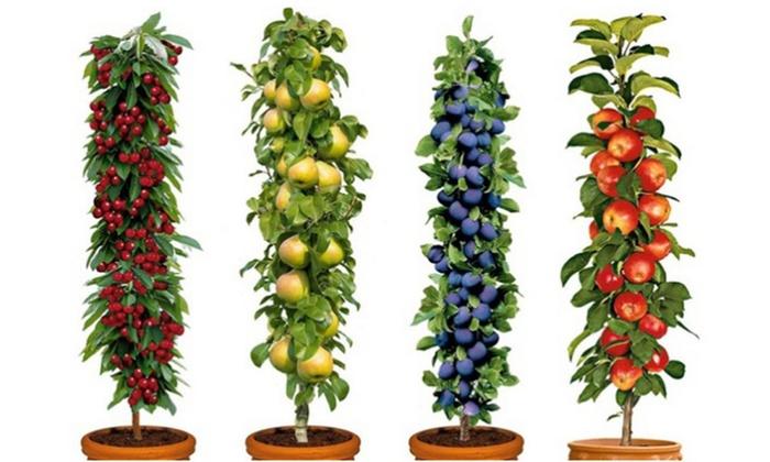 groupon goods global gmbh four or five pot grown pillar fruit trees with optional planters