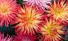 Cactus Dahlia Mixed Flower Bulbs (3-, 6-, 9- or 12-Pack)