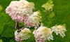 Pre-Order Assorted Young Hydrangea Plants