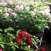 Half Off Annual and Perennial Potted Plants