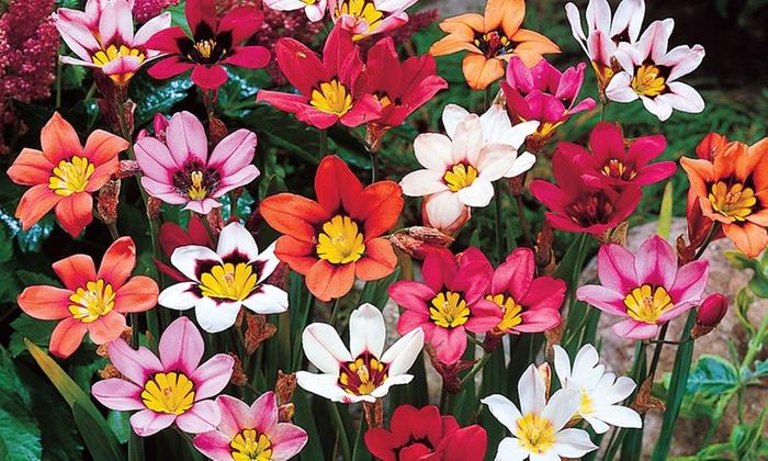 Summer Flowering Bulbs Pictures Flowers Ideas
