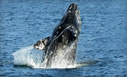 One Gray Whale-Watching Tour Ticket (up to a $32 value) - Dana Wharf Sportfishing & Whale Watching in Dana Point