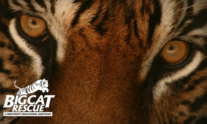 Big Cat Rescue - Easy St: $12 for a Guided Big-Cat Tour at Big Cat Rescue ($25 Value)