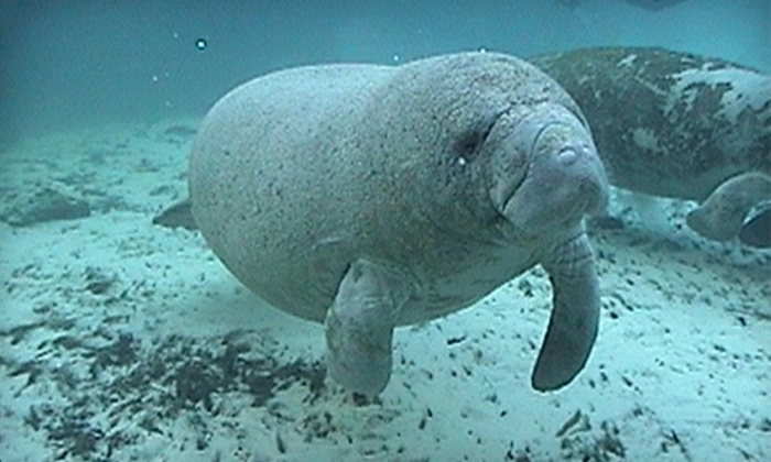 Manatee Tour and Dive - Crystal River: Manatee Tour with Snorkel-Equipment Rental for Child or Adult from Manatee Tour and Dive in Crystal River (59% Off)