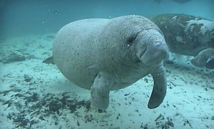 Manatee Dive and Tour for a Child 12 or Younger (a $24 value) - Manatee Tour and Dive in Crystal River