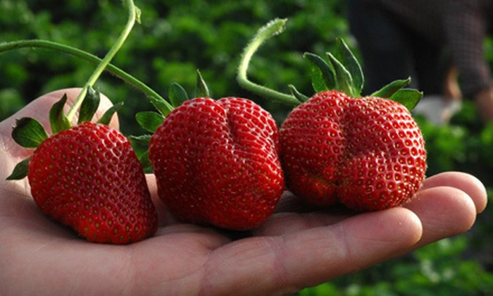 Jones Orchard - Multiple Locations: Strawberry-Picking Outing with Fresh-Fruit Smoothies for Two or Four at Jones Orchard (Half Off)