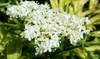 9cm Winter-Hardy Sambucus Plant