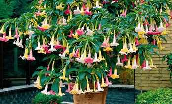 Mix plantes Brugmansia 3 couleurs