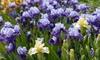 Preorder: Reblooming Bearded Iris Mixed Bulbs (3 Bulbs): Preorder: Reblooming Bearded Iris Mixed Bulbs (3 Bulbs)