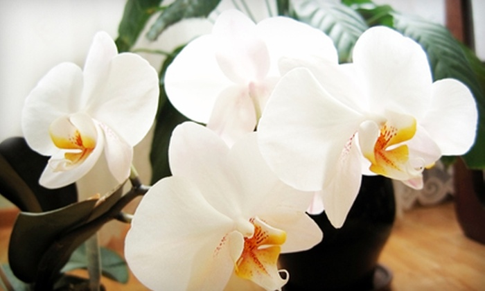 François-Pijuan Floral Design and Event Décor - Chelsea: Small or Large Potted Orchid from François-Pijuan Floral Design and Event Décor (Up to 65% Off)