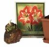 Minerva Amaryllis Gift Kit