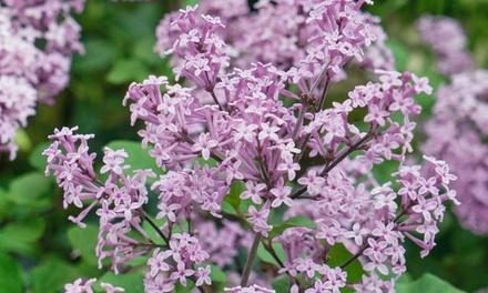 Dwarf Lilac with Optional Planter