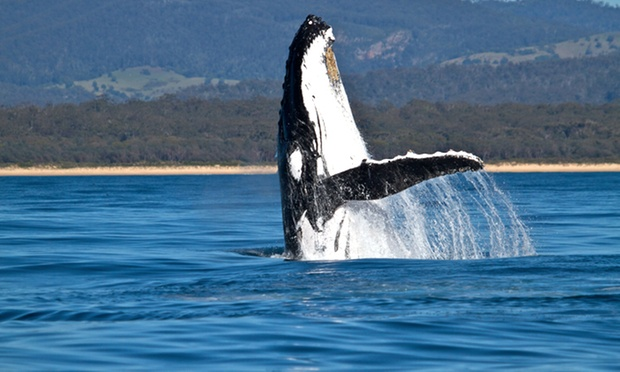 whale watching wollongong - photo#12
