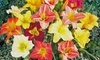 Re-Blooming Daylily Mix (6-Count): Re-Blooming Daylily Mix (6-Count)