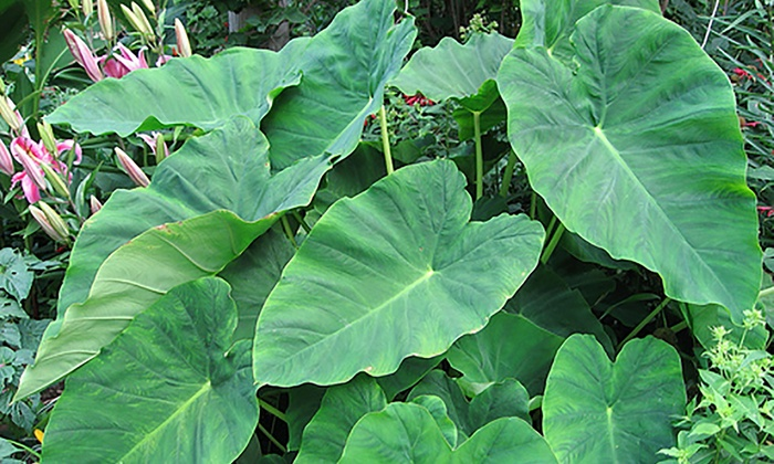 colocasia esculenta Colocasia esculenta, also known as taro or dasheen as well as many other vernacular names, is an important food crop, widely cultivated in a zone spanning across asia.