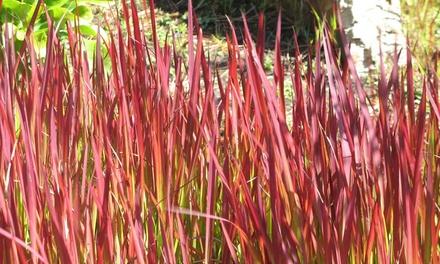 Japanese Blood Grass 9cm