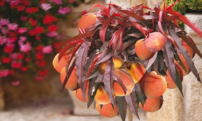 You Garden Limited: Peach Crimson Bonfire For £16.99 With Free Delivery  (37% ...