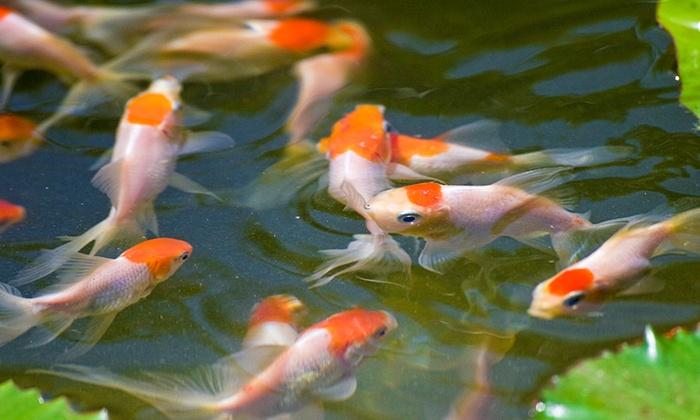 Pet fish and aquatic plants neighborhood fish farm groupon for Petco koi fish