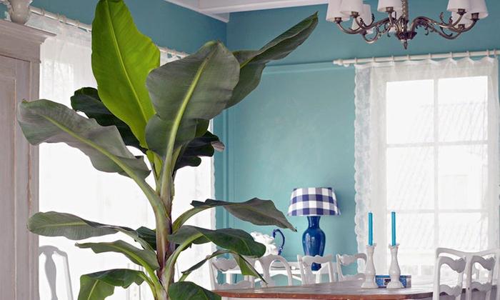 bananiers d 39 int rieur groupon. Black Bedroom Furniture Sets. Home Design Ideas