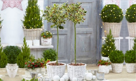 Two Variegated Holly Trees from £29.99 With Free Delivery