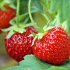 $10 for Pick-Your-Own Berries in Beaverton