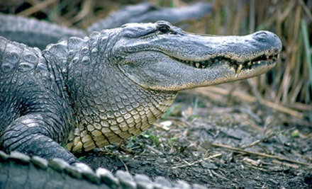 Child's Tour Package (a $20 value) - Insta-gator Ranch & Hatchery in Covington