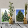 Pre-order Evergreen Tree Seedlings for Earth Day (1, 3 or 5-pack)