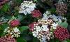 Viburnum Tinus-struik