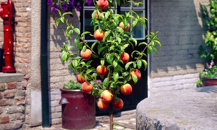 Arbres fruitiers groupon shopping - Arbre en pot terrasse ...
