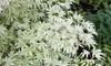 """1 ou 2 plants d'érables japonais """"Ukigumo"""" en pot de 3 L"""