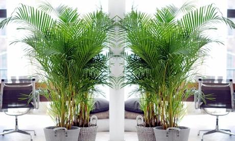 Set de 2 o 4 palmeras Areca