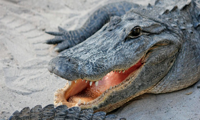 Under the Sun Tours - Pompano Beach Industrial Center: Eco Everglades Tour and Animal Show with T-Shirt for One, Two, or Four at Under the Sun Tours (Up to 39% Off)