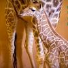 Zoo Atlanta – $10 for Giraffe-Naming-Contest Entry & Admission
