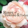 Half Off at Roses of Yesterday and Today