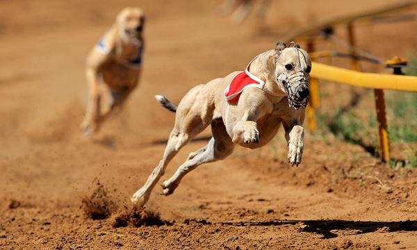 Peterborough dogs betting online man of the match betting nrlca