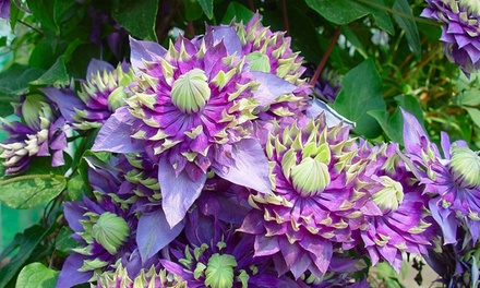 Climbing Clematis Taiga Plant from £10 With Free Delivery