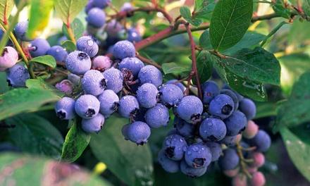 Two Blueberry Plants in 9cm Pots with Optional 1kg Fertiliser