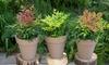 3 Himmelsbambus-Pflanzen