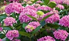 55% Off Potted Hydrangea Plant with Delivery