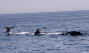 Provincetown Whale Watching: $30 for a Whale-Watching Tour for One Adult from Provincetown Whale Watching ($42 Value)