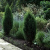 Up to 56% Off Blue-Point Juniper Trees in LaSalle