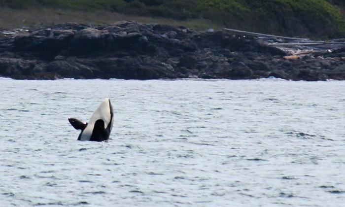 Puget Sound Express - Port Townsend: $44 for an All-Day San Juan Island Whale-Watching Tour from Puget Sound Express ($88.50 Value)