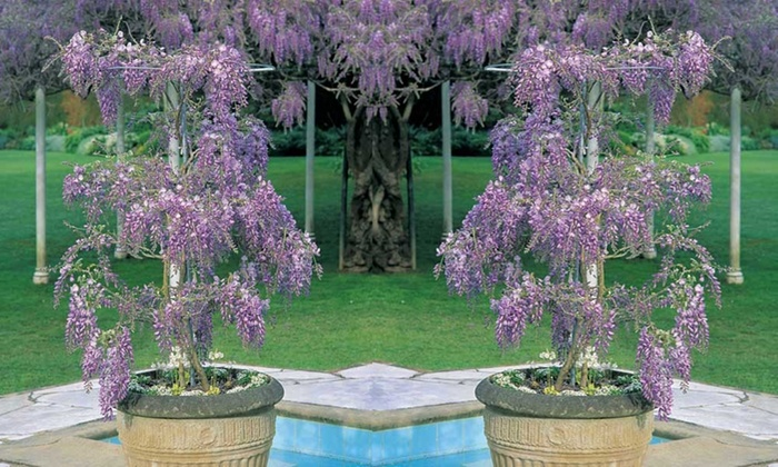 Large Potted Wisteria Sinensis Groupon Goods