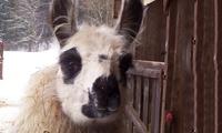 2 Std. Lama-Wanderung inkl. Getränk und Süßes für zwei oder vier Personen bei BayernLamas (bis zu 51% sparen*)