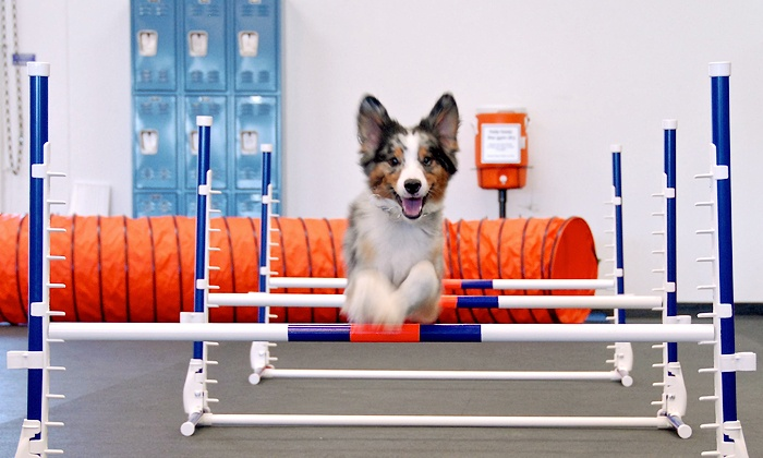 Zoom Room - Multiple Locations: Private or Group Training Lessons for One Dog or Agility Classes for Two Dogs at Zoom Room (Up to 61% Off)