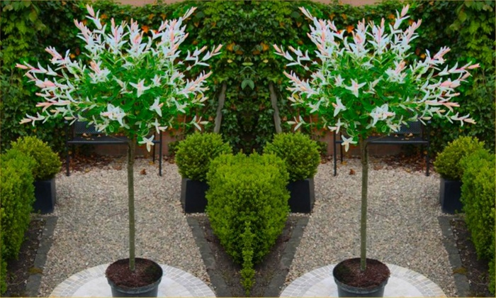 Groupon Goods Global GmbH: Two Salix Flamingo Trees with Optional Decorative Planters