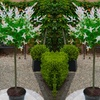 Pair of 1.2m Flamingo Topiary Trees