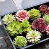 "4"" Succulent Plants (4-, 6-,9-, or 12-Pack)"