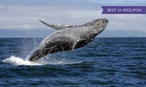 Celebration Cruises of Santa Barbara: Two-Hour Whale Watching Cruise for One, Two, or Four at Celebration Cruises of Santa Barbara (Up to 50% Off)