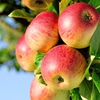 51% Off Apple Picking at Nelson's Apple Farm